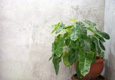 Árboles en los potes colocados al lado de un muro de cemento en los cuartos de baño ásperos b Imagen de archivo libre de regalías
