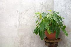 Árboles en los potes colocados al lado de un muro de cemento en los cuartos de baño ásperos b Imagen de archivo