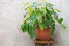Árboles en los potes colocados al lado de un muro de cemento en los cuartos de baño ásperos b Foto de archivo