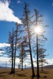 Árboles en Mongolia Imagen de archivo libre de regalías