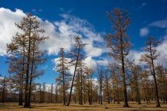 Árboles en Mongolia Fotografía de archivo libre de regalías
