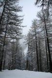 Árboles en nieve Imagenes de archivo