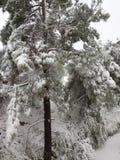 Árboles en nieve Fotos de archivo libres de regalías