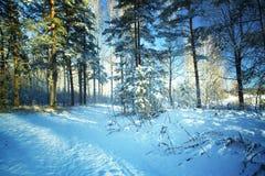 Árboles en nieve en la madera del invierno Imagenes de archivo