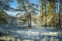 Árboles en nieve en la madera del invierno Foto de archivo