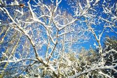 Árboles en nieve en la madera del invierno Fotos de archivo