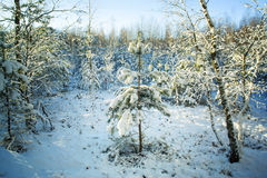 Árboles en nieve en la madera del invierno Imagen de archivo libre de regalías