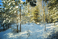 Árboles en nieve en la madera del invierno Fotos de archivo libres de regalías