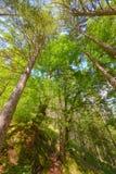 Árboles en un bosque de debajo, perspectiva del ángulo bajo Imágenes de archivo libres de regalías