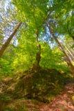 Árboles en un bosque de debajo, perspectiva del ángulo bajo Imagen de archivo