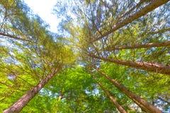 Árboles en un bosque de debajo, perspectiva del ángulo bajo Foto de archivo