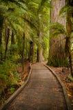 Árboles en un bosque de madera rojo imagenes de archivo