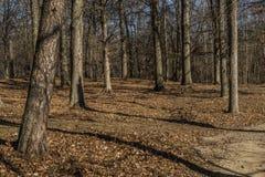 Árboles en un bosque por tarde Imagen de archivo