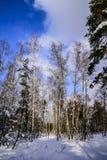 Árboles en un Forest Park en un día escarchado del invierno soleado contra un cielo azul Rusia Imagen de archivo