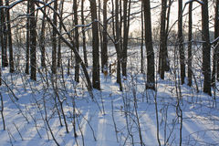 Árboles en un sol bajo Imagenes de archivo