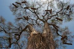 Árboles enormes con las coronas rameadas sin las hojas contra el cielo azul, en colmenas africanas hechas en casa numerosas de la Fotografía de archivo libre de regalías