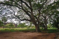 Árboles enormes, con las ramas fuertes en él Imagen de archivo