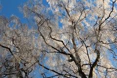 Árboles escarchados del invierno contra el cielo azul Foto de archivo libre de regalías