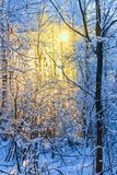 Árboles escarchados en el bosque del invierno en la mañana soleada Foto de archivo libre de regalías