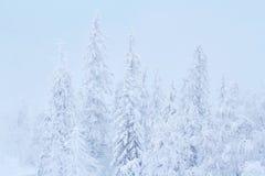 Árboles fabulosos en la nieve antes de la Navidad Mañana escarchada en la Feliz Año Nuevo del bosque Salida del sol hermosa Fotos de archivo