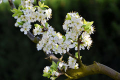 Árboles florecientes Imágenes de archivo libres de regalías