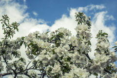 Árboles florecientes Imagen de archivo