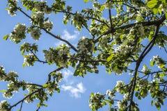 Árboles florecientes Fotografía de archivo libre de regalías