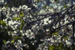 Árboles florecientes Fotos de archivo libres de regalías