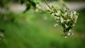 Árboles florecientes blancos con las hojas verdes en primavera almacen de metraje de vídeo
