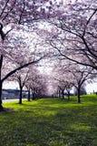 Árboles florecientes de florecimiento de la primavera rosada del callejón en la costa en puerto Imagenes de archivo
