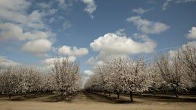 Árboles florecientes de la almendra del lapso de tiempo almacen de metraje de vídeo