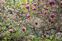 Árboles florecientes de la magnolia Imagen de archivo