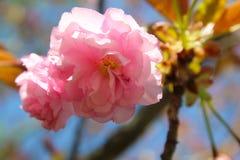 Árboles florecientes de la primavera imagenes de archivo