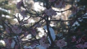 Árboles florecientes de las cubiertas de nieve metrajes