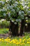 Árboles florecientes del blanco en resorte Fotografía de archivo libre de regalías