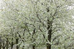 Árboles florecientes en primavera Imagen de archivo