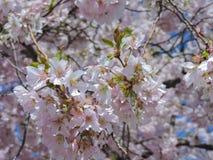 Árboles florecientes en primavera alemana imagen de archivo libre de regalías
