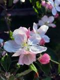 Árboles florecientes en resorte imagen de archivo