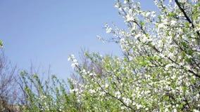 Árboles florecientes hermosos en resorte almacen de video