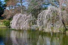 Árboles florecientes - jardín botánico de Brooklyn Foto de archivo