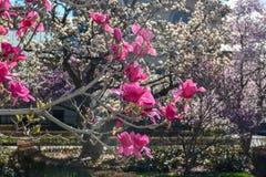 Árboles florecientes - jardín botánico de Brooklyn Imagen de archivo libre de regalías