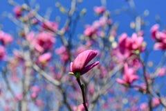 Árboles florecientes - jardín botánico de Brooklyn Imagen de archivo