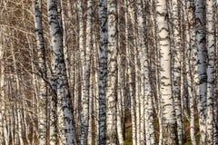 Árboles forestales del abedul de los troncos Imagenes de archivo