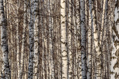 Árboles forestales del abedul de los troncos Fotos de archivo