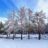 Árboles forestales del invierno en nieve Imagen de archivo libre de regalías