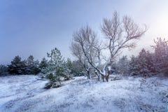 Árboles forestales del invierno en nieve Foto de archivo