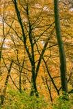 Árboles forestales del otoño Imagen de archivo