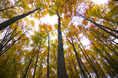 Árboles forestales otoñales   Fotografía de archivo libre de regalías