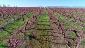 Árboles frutales blancos y púrpuras todos plantados en filas para hacer la cosecha más fácil almacen de metraje de vídeo