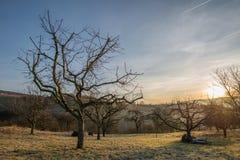 Árboles frutales calvos en invierno Fotografía de archivo